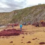 Recolectores de algas trabajan duro en La Arnía