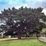 El pino negro de la península de la Magdalena