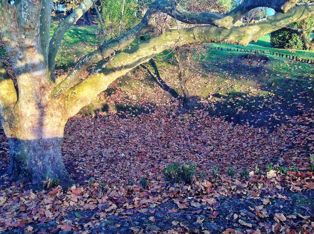 hojas-arbol-grande-santander-mataleñas