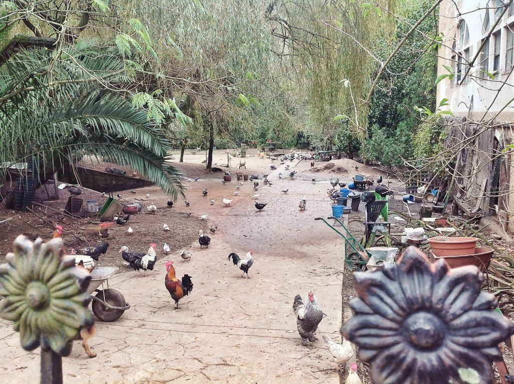puente-viesgo-gallinas