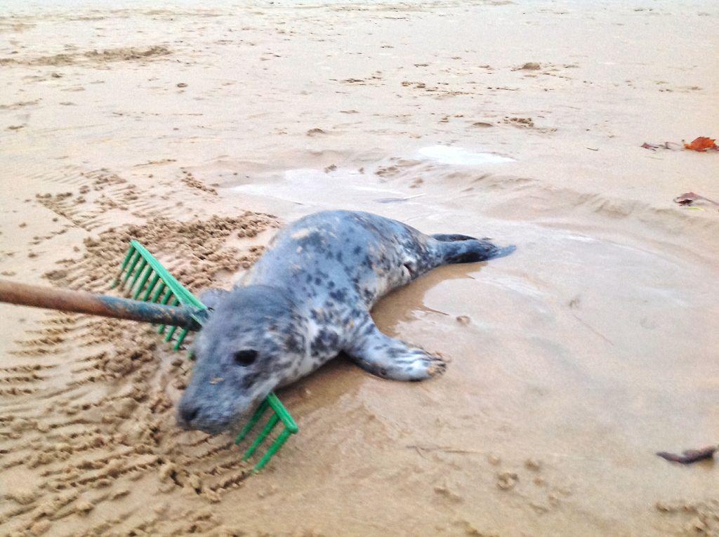 foca-sardinero-charca