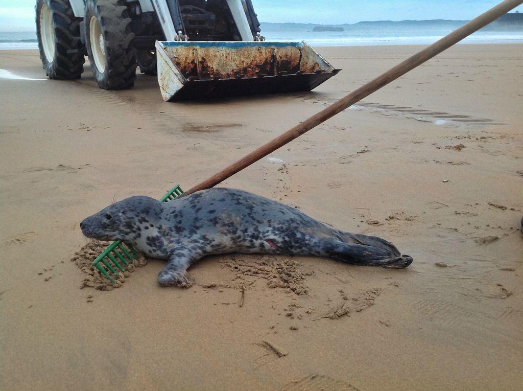 foca-sardinero-rastrillo