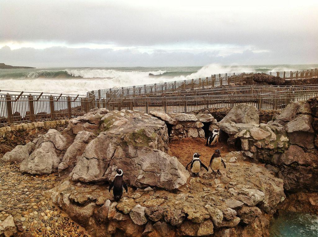 pinguinos-magdalena-olas