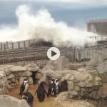 Los pingüinos aguantan estoicos un tsunami en el mini zoo de la Magdalena