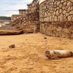 Volvemos a encontrarnos una foca, esta vez junto a los Jardines de Piquío