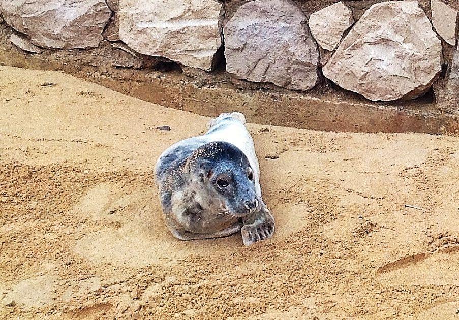 foca-sardinero-piquio