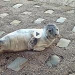 La hermana de la foca Margarita se despereza junto al Palacete del Embarcadero