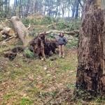 Un eucalipto centenario del palacio de la Magdalena sucumbe a los vientos del temporal