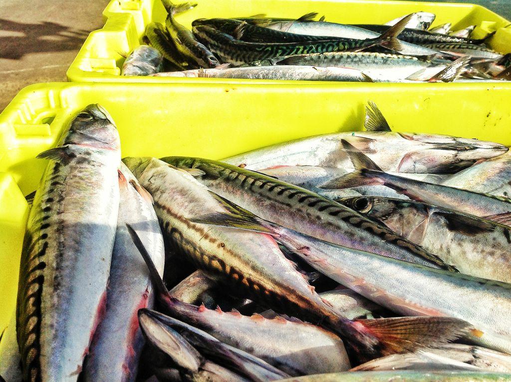 jurel-pesquero-santander-cantabria