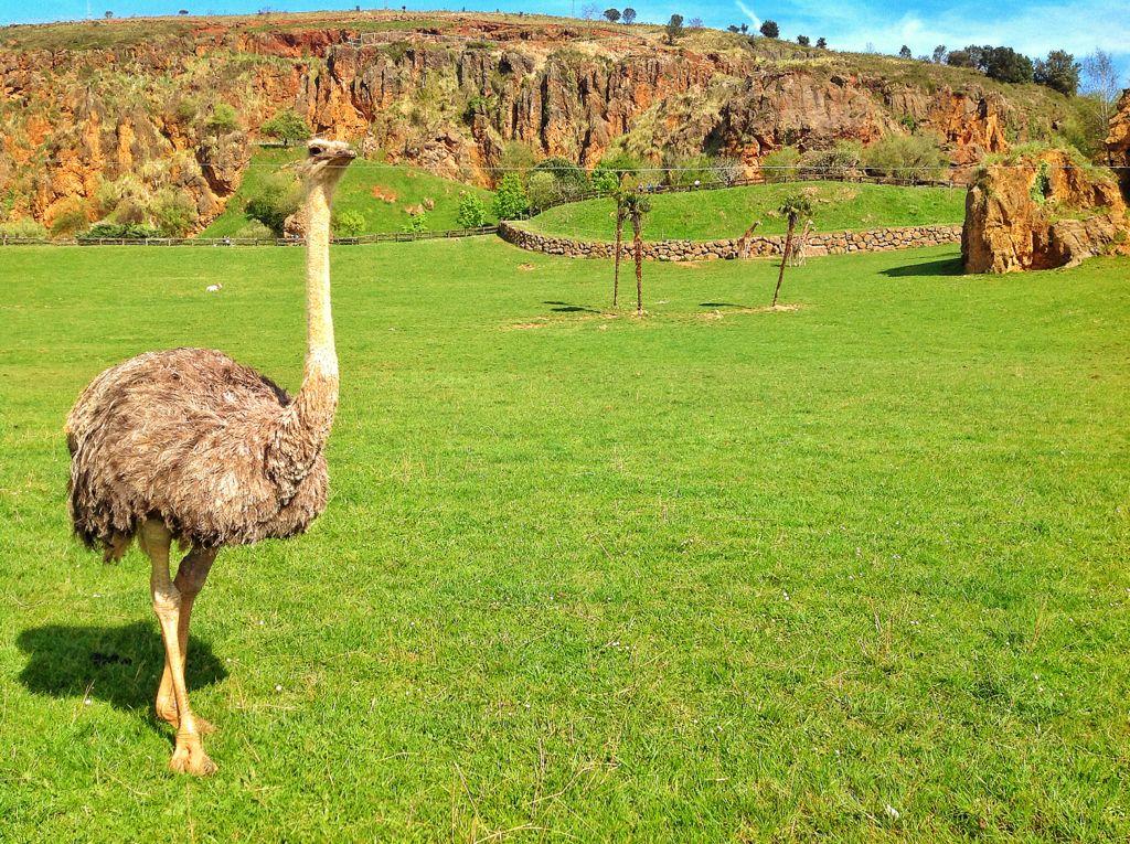 cabarceno-avestruz
