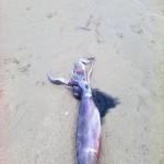 Aparece un calamar de 5 kilos en la Segunda del Sardinero