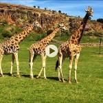 La elegancia de las jirafas de Cabárceno
