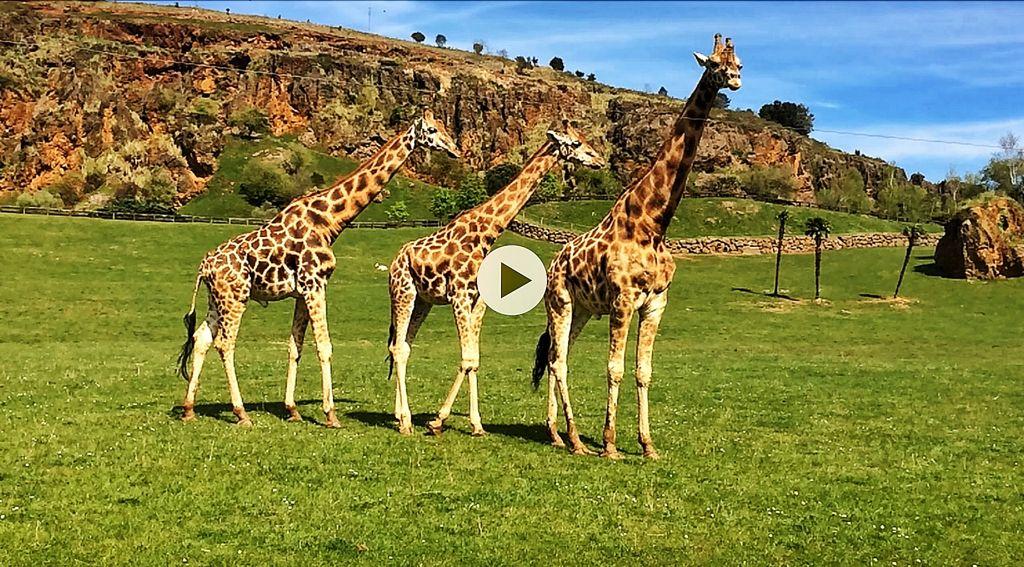 video-jirafas-cabarceno