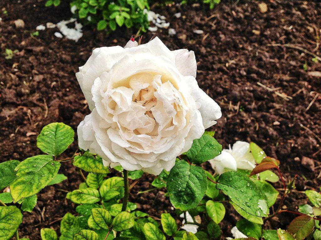 rosa-blanca-mataleñas