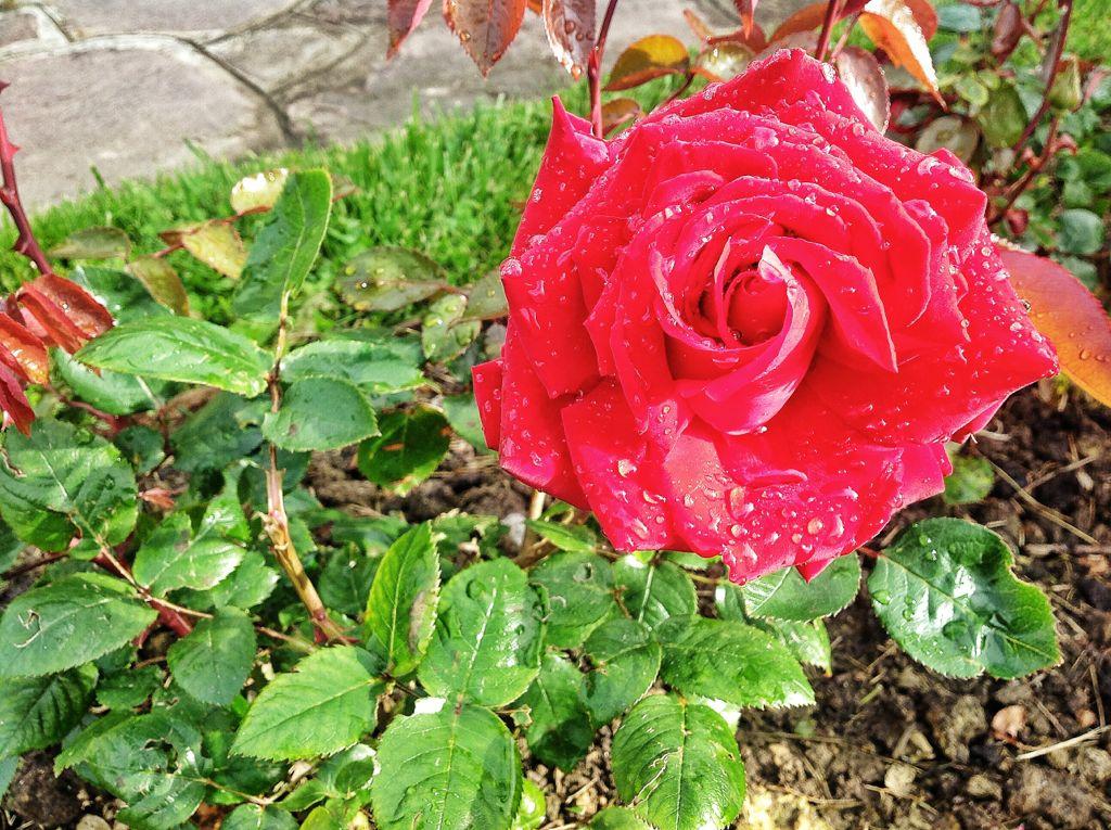 rosa-roja-mataleñas