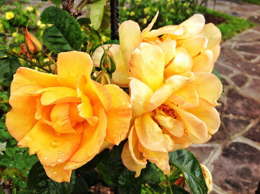 rosas-naranjas-mataleñas