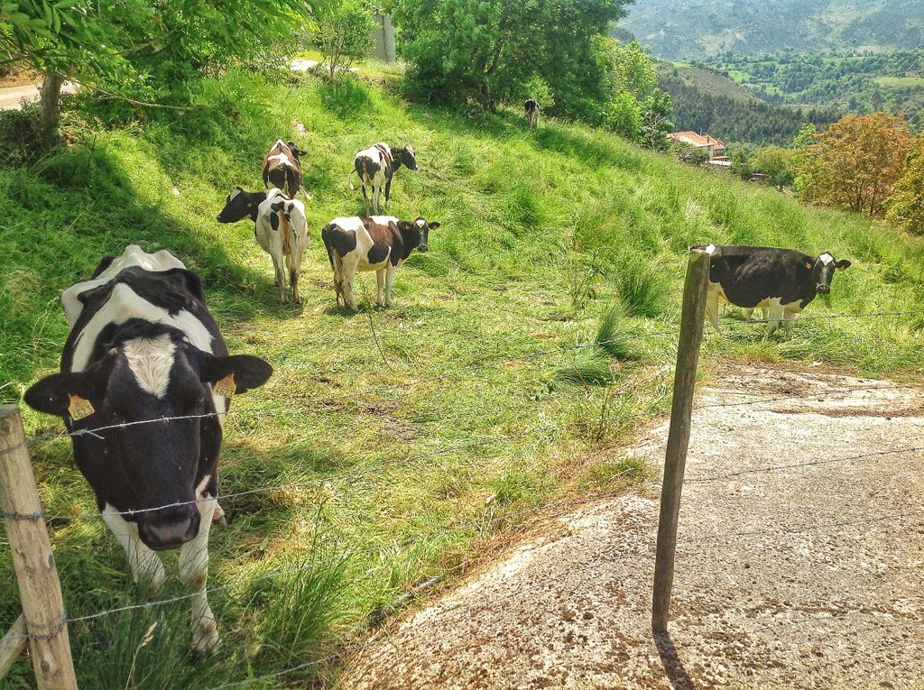 vacas-cantabria