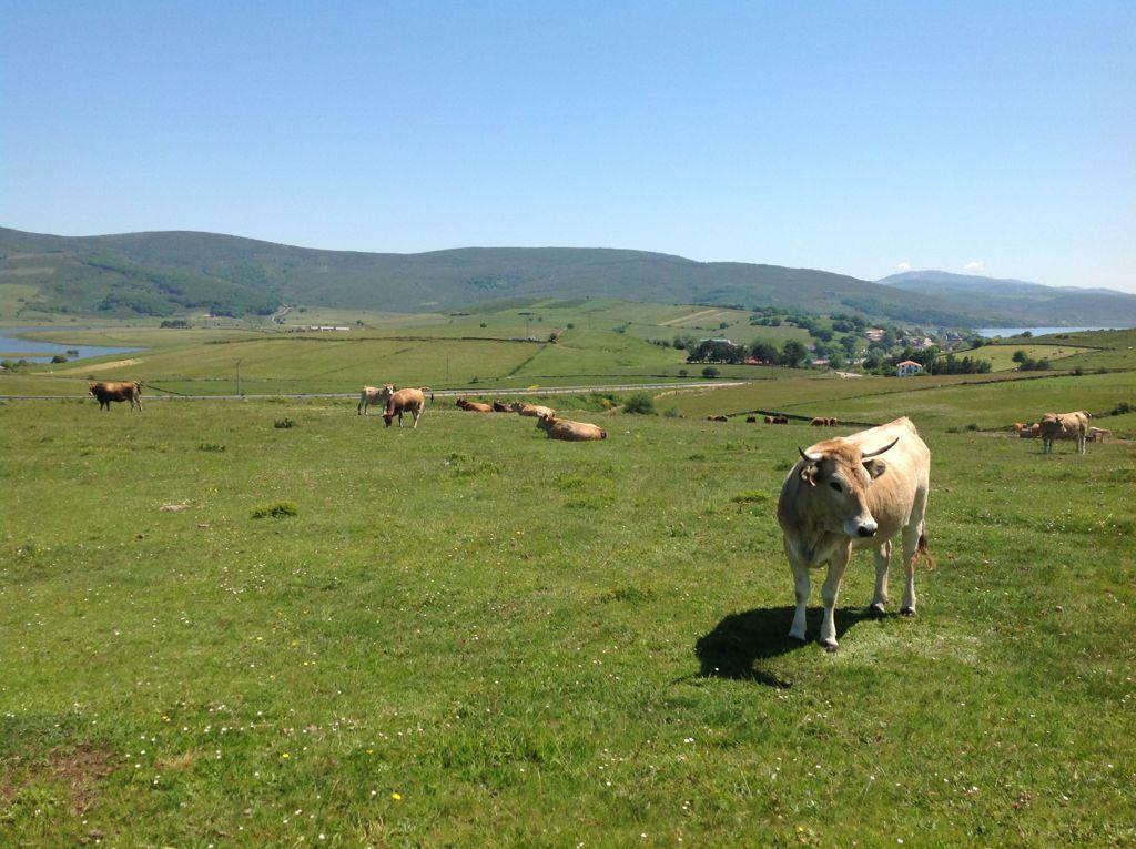 vacas-pantano-ebro