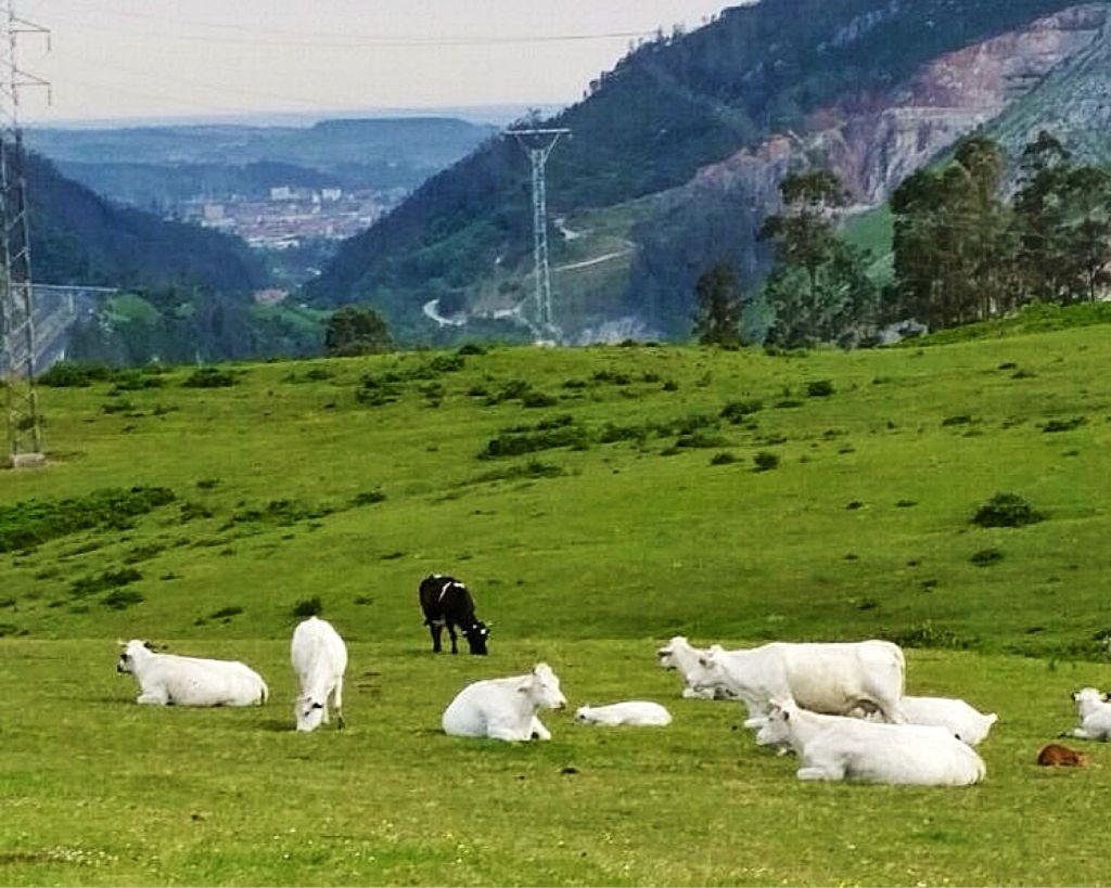 vacas-valle-buelna-jose-antonio-antonan