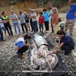 El calamar gigante de Pechón ya está en el Museo Marítimo