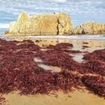 Las primeras algas de la temporada en La Arnía