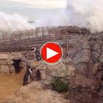 Los pinguinos le gritan a la mala mar