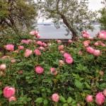 Rosas con olor a Cantábrico