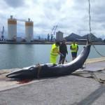 Una ballena, de unos cuantos metros, en el Puerto de Santander
