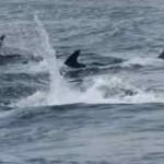 Los delfines que visitaron ayer Santander en primerísimo primer plano