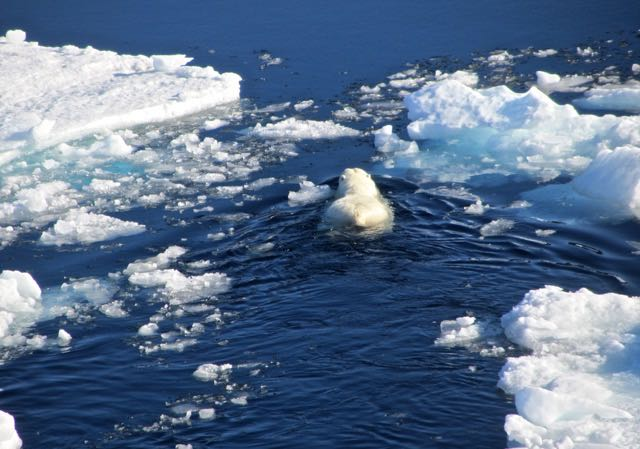 oso-polar-ruta-mensaje-botella
