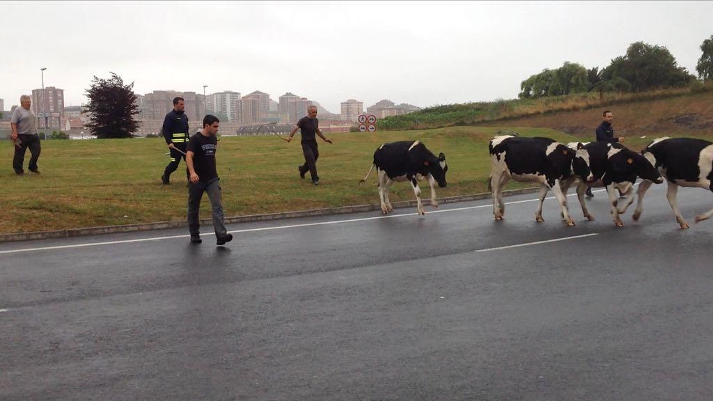 bomberos-vacas-rotona-s20