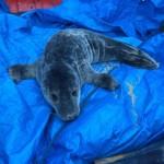 Bomberos y Policía Local rescatan a una cría de foca herida en la playa de Oriñon
