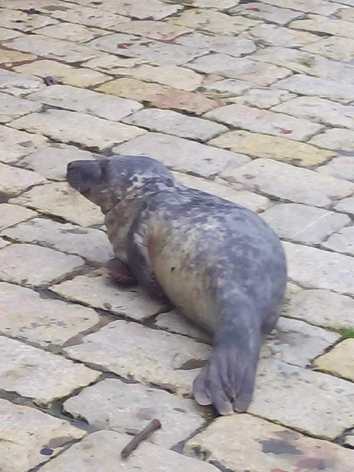 foca-puerto-chico-santander