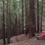 El bosque de Secuoyas de Cabezón estrena pasarela de madera