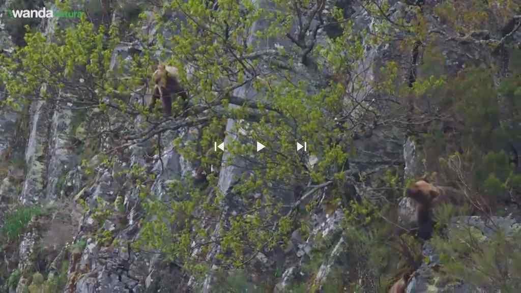 oso-cantabrico-video