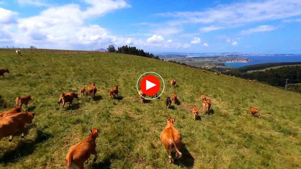 vacas-video