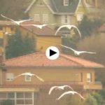 Cisnes aterrizando en la bahía de Santander. Maravilloso