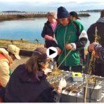 Así se transplanta un alga protegida de la bahía de Santander