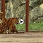 Dos tigres de Bengala llegan a Cabárceno