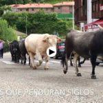 Tudancas que toman las carreteras de Cantabria como algo suyo
