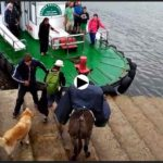 Así subió a la lancha de los Reginas el burro que ayer cruzó la bahía de Santander