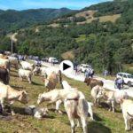 ¡Vaya ganado tenemos en Cantabria! La feria de Polaciones