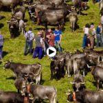 La feria de ganado de San Miguel en Rionansa. ¡Qué grandes son los ganaderos cántabros!