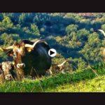 ¡Cuánto respeto le tenemos los cántabros a la vaca tudanca!