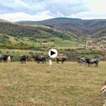 Vacas tudancas que predicen el tiempo