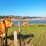 Las vacas de Cuchía