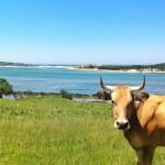 La vaca que sabe posar