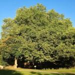 El árbol que da más sombra de Santander