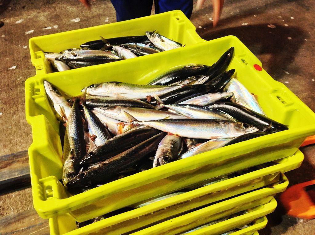 bonitos-recien-pescados