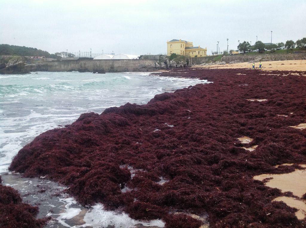 cendo-playa-del-camello-santander-algas